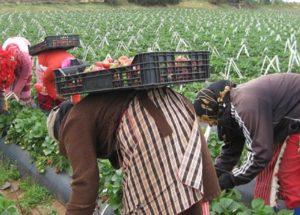 أنابيك : مطلوب عمال وعاملات فلاحيين بدون شهادة او دبلوم بدولة فرنسا
