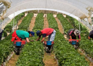 العمل بالخارج | أنابيك : مطلوب عمال وعاملات فلاحيين بدون شهادة او دبلوم بدولة فرنسا